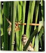 Great Reed Warbler Acrylic Print