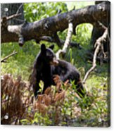 Great Smoky Mountain Bear Acrylic Print