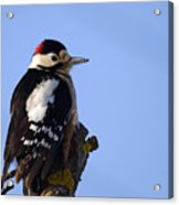 Great Spotted Woodpecker Against Blue Sky Acrylic Print