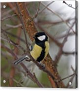 Great Tit Male Acrylic Print