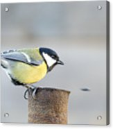 Great Tit On The Tube  Acrylic Print