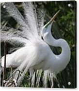Great White Egret 2 Acrylic Print