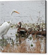 Great White Egret And Ducks Acrylic Print