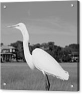 Great White Egret Black And White Acrylic Print