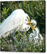 Great White Egret Family Acrylic Print