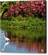 Great White Egret Hunting In A Pond In Mexico With Iguana And Re Acrylic Print