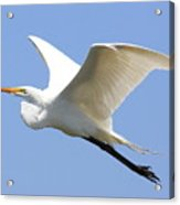 Great White Egret In Flight . 40d6845 Acrylic Print