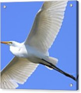 Great White Egret In Flight . 40d6850 Acrylic Print