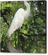 Great White Egret In Spring Acrylic Print