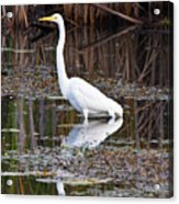 Great White Egret Acrylic Print by James Marvin Phelps