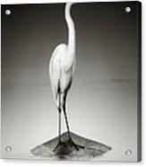 Great White Egret On Hippo Acrylic Print