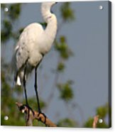 Great White Egret Pose Acrylic Print
