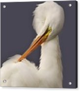 Great White Egret Posing Acrylic Print