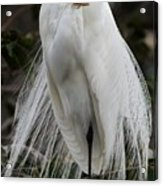 Great White Egret Windblown Acrylic Print