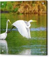 Great White Egrets Acrylic Print