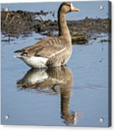 Great White Fronted Goose Acrylic Print