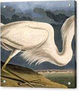 Great White Heron Acrylic Print