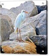 Great White Heron Of Florida Acrylic Print