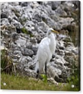 Great White Heron Race Acrylic Print