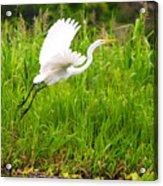 Great White Heron Takeoff Acrylic Print
