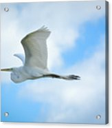 Great White In Flight Acrylic Print