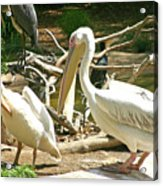 Great White Pelican Acrylic Print