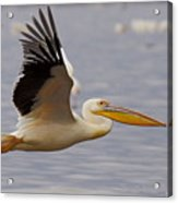 Great White Pelican In Flight Acrylic Print