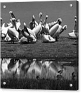 Great White Pelicans, Lake Nakuru, Kenya Acrylic Print