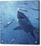 Great White Shark Carcharodon Acrylic Print
