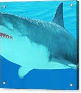 Great White Shark Close-up Acrylic Print