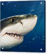 Great White Shark Acrylic Print