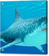 Great White Shark Undersea Acrylic Print