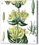 great yellow gentian, Gentiana lutea Acrylic Print