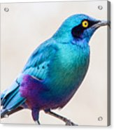 Greater Blue-eared Starling Acrylic Print