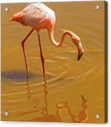 Greater Flamingo In The Water At Galapagos Islands Acrylic Print