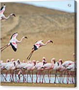 Greater Flamingos Phoenicopterus Acrylic Print