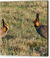 Greater Prairie Chicken Males 1 Acrylic Print