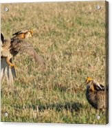 Greater Prairie Chicken Males 2 Acrylic Print