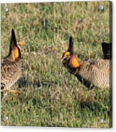 Greater Prairie Chicken Males 3 Acrylic Print