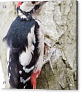 Greater Spotted Woodpecker Acrylic Print