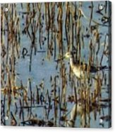 Greater Yellowleg In Reeds Acrylic Print