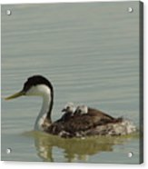 Grebe With Two Chicks On Its Back Acrylic Print
