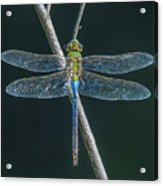 Green And Blue Dragonfly Acrylic Print