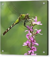 Green  And Pink Acrylic Print