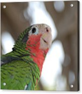 Green And Red Conure With Ruffled Feathers Acrylic Print