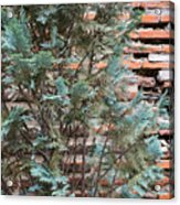 Green And Red - Cypress Branches Over Antique Roman Brick Wall Acrylic Print