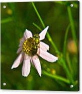 Green Bee Feeding Acrylic Print