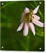 Green Bee Searches For Pollen Acrylic Print
