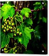 Green Berries Acrylic Print