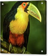 Green-billed Toucan Perched On Branch In Jungle Acrylic Print